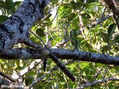 Alma-de-gato (Piaya cayana) fotografada na margem do Rio Pardo, em São José do Rio Pardo/SP, em Abril/14.