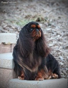 This is an English Toy Spaniel. Never seen one...