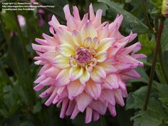 Full size picture of Informal Decorative Dahlia 'Bahama Mama' (<i>Dahlia</i>)
