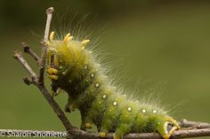 Imperial Moth Caterpillar