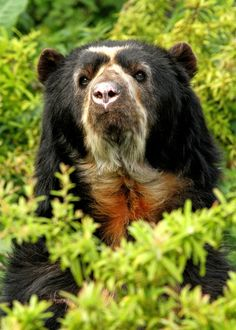 "earthsfinest: ""Spectacled Bear"" by Alan... - earthandanimals"