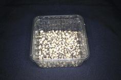 Bohnenkäfer - Bruchus quadrimaculatus - Diese Bohnenkäferart eignet sich für kleinere Echsen, Frösche und auch Mantiden. Sie vermehren sich ausschließlich auf der asiatischen Schwarzaugenbohne und sind daher in unseren Gefilden nicht als Schädling eingestuft. Da ihre Größe lediglich ca. 3mm... - http://mantidendealer.de/produkt/bohnenkaefer-bruchus-quadrimaculatus/