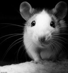 Fancy rat - Elise in B&W by Rob Fay