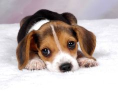 #WellPets The Beagle is a breed of small to medium-sized dog.