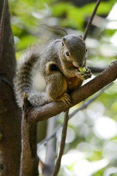 Plantain Squirrel (Callosciurus notatus) by Boon Hong Chan on 500px