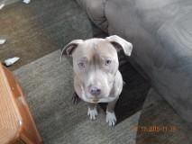 Meet+Elijah+Blue,+a+Petfinder+adoptable+American+Staffordshire+Terrier+Dog+|+Flushing,+NY+|+Hold+on+to+your+saddles+because+we+have+a+wonderful+dog+who+is+in+need+of+a+loving+home!+Meet...