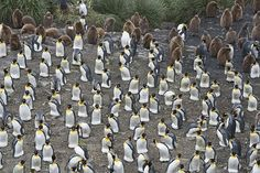 Meet the Wild Penguins of South Georgia Island in David Tipling's Intimate Images