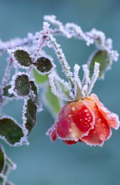 Like the rose under the April snow.