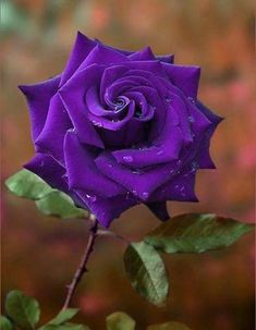 A rose is a rose regardless of color!