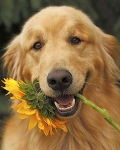 15 Signs You& A Crazy Golden Retriever Person. and Damn Proud To Be! If more than a few of these points apply to you. then there's straight up no denying that you're indeed a crazy golden retriever person! Cute Puppies, Cute Dogs, Dogs And Puppies, Doggies, Beautiful Dogs, Animals Beautiful, Raza Labrador, Animals And Pets, Cute Animals