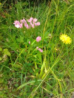 centaury- I have often wondered what it looked like and it is popping up everywhere now with its slender stem and pale magenta floral buds- delicious! Rosslyn Chapel, Hidden Places, Spirituality Books, Pop Up, Magenta, Scotland, Ireland, Places To Visit, Earth
