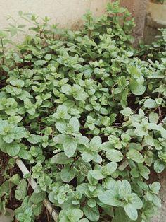 Mint, Lovers, Nature, Plants, Peppermint, Naturaleza, Plant, Natural, Planting