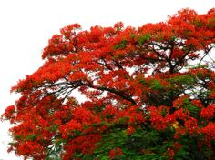 Flamboyant tree is a tree renowned for its flamboyant leave display and hence its name. It's also known for its fern like leaves and is one of several trees referred to as flame tree. Delonix Regia, Flame Tree, Flamboyant, Flowering Trees, Floral Flowers, Puerto Rico, Perennials, Planting Flowers, Lush