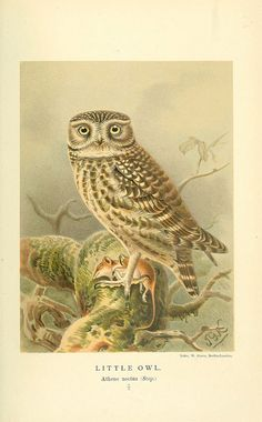 n246_w1150 by BioDivLibrary on Flickr. Via Flickr: Coloured figures of the birds of the British Islands. v.1 London :R...