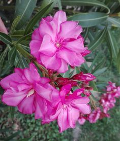 Haydn Nerium, Rose, Gardening, Flowers, Garden, Pink, Roses, Lawn And Garden, Florals