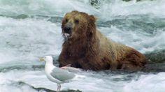 Gaviota Oso grizzly Caza de presas Cascada Alaska Especies de peces