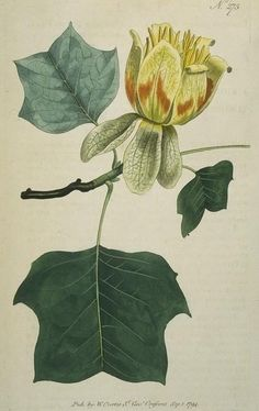 Common tulip-tree (also known as Poplar tree) ~ have one of these in our front yard