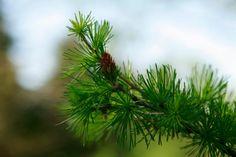 Gorgeous pine branch photo