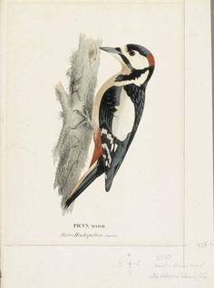 """""""Great Spotted Woodpecker, Male"""" - """"Käpytikka, koiras"""", 1828 - 1838 – litography - litografia –  Wilhelm von Wright - Ateneumin taidemuseo - Wilhelmiä on pidetty taiteilijaveljessarjan teknisesti etevimpänä kykynä sekä piirtäjänä että maalarina.Hänen merkittävin kuvitustyönsä on 60 väritaulua sisältävä Skandinaviens FISKAR. Samantap.kuvasarjoja hänellä on enemmänkin.Hän toimi myös Ruotsin Taideakat.julkaisujen ja aikakauskirja TIDSKRIFT FÖR JAGARE OCH NATUR FORSKAREN kuvittajana."""
