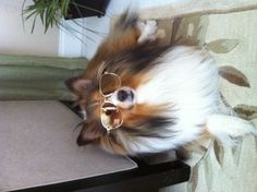Fabulous sheltie