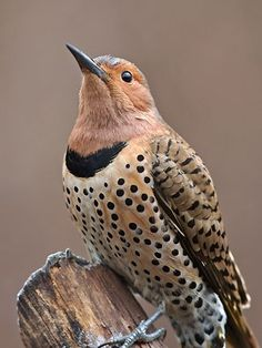 female Northern Flicker by tracie