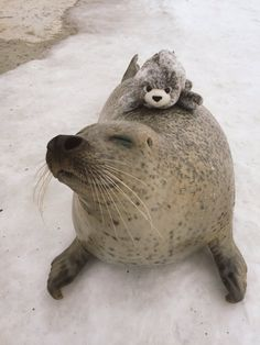 Aku, the seal, from MOMBETSU LAND in Hokkaido, Japan happily hugs a plushie toy version of himself. (photos via TWITTER)