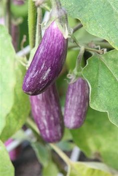 how to grow eggplant Planting Vegetables, Growing Vegetables, Vegetable Gardening, P Garden, Garden Ideas, Growing Eggplant, Weird Trees, Gardening Tips, Purple Stuff