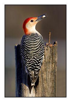 Red Bellied Woodpecker 4 by *Wessonnative on deviantART