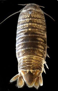 Cirolanidae - Crustacea, Isopoda