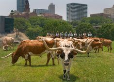 Fort Worth Herd... gotta see this when you visit and pictures of it and the stockyards are a must