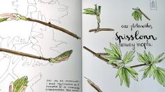 Acer pseudoplatanus - sketching spring. Acer, Sketching, Doodles, Spring, Drawings, Pictures, Sketches, Drawing, Sketch