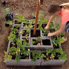 Strawberry plants in blocks