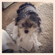 Morkie puppy found the tp!