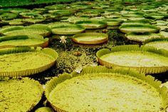 MauritiusUFOL - Giant water lilies Mauritius