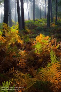 radivs:Warm Forest by Christophe Carlier