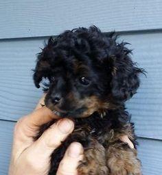 Beautiful Phantom Poodle - My new Puppy