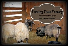 Do you have unruly goats? Is feeding time frenzy making you crazy? Here's an idea we use on our farm when feeding grain to unruly goats. Raising Farm Animals, Raising Goats, Raising Chickens, Keeping Goats, Goat Care, Future Farms, Farms Living, Homestead Living, Goat Farming