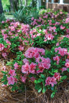 Try planting some under yours for ideal sun and soil conditions. Bonus: The dappled light is ideal for shielding shrubs from summer's heat. - How to grow Encore® Azaleas under a pine tree canopy Azaleas Landscaping, Landscaping Around Trees, Front Yard Landscaping, Landscaping Ideas, Florida Landscaping, Farmhouse Landscaping, Evergreen Landscape, Flower Landscape, Landscape Design