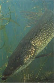 Deep-Water Tactics for Monster Pike – with video