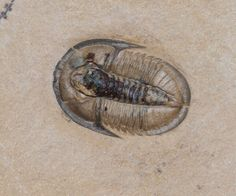 Cedaria minor  Trilobite Order Ptychopariida, Suborder Ptychopariina, Superfamily Ptychparioidea, Family Cedariidae  Geologic Age: Middle Cambrian  Ammagnostus is 4 mm and Cedaria are 14 mm  House Range, Weeks Fornation, Millard County, Utah