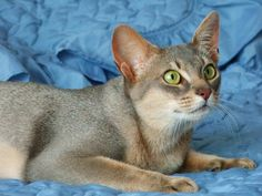 Blue Abyssinian.  Never seen one.  Beautiful cat.