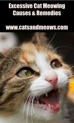 Causes and Remedies of Excessive Cat Meowing As a cat owner and lover, I'm sure you know there are days when your cat just won't stop meowing. After what seems like hours of endless meowing, you just want your cat to be quiet for a few minutes. Raising Kittens, Cat Health Care, Health Tips, Getting A Kitten, Cat Care Tips, Pet Tips, Pet Care, Owning A Cat, Old Cats