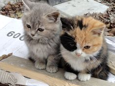 "* * GREY KITTEN: "" Wellz, it's either dem or us. Whadya thinks? "" CALICO KITTEN: "" How about merging? """