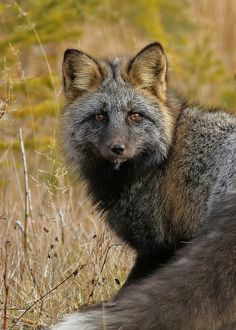 A rare glimpse of a dark coloured Red Fox. -Red Fox...#10 by Blackcat Photography on Flickr*