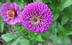Aren't these Violet Queen Zinnias just beautiful?  Planted in with my Black Velvet Petunias, they should be an awesome display of purple and black color...