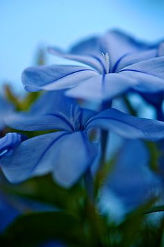~~Forever Blue by Renee Hubbard Fine Art Photography - plumbago~~