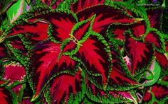 Coleus:  Not really a flower, but many beautiful leaf colors and the ease of growing coleus makes it a winner.