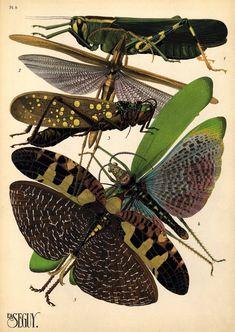 E.A.Seguy 1. Horaeocerus nigricornis. Madagascar; 2. Acrida miniata. Algerie; 3. Aularches miliaris. Asie; 4. Phymateus Brunneri. Afrique Tropicale; 5. Acanthodis imperialis. Asie.