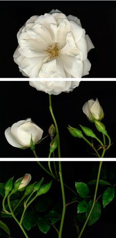 triptych color photo of white roses | BARLOGA STUDIOS- featuring the black and white photography of Roy Barloga