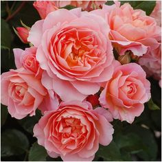 My Mum - Floribunda Bush Rose Color Blending, Beautiful Roses, Indoor Garden, Special Gifts, Special Occasion, Fragrance, Bloom, Nursery, Pure Products